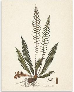 Fern Osmunda Botanical Print - 11x14 Unframed Art Print - Gr